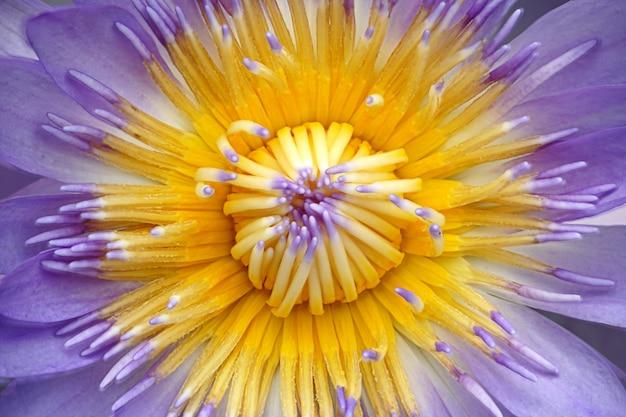 Sluit omhoog van purpere lotusbloem of waterleliebloem met lichtblauwe carpel voor achtergrond.