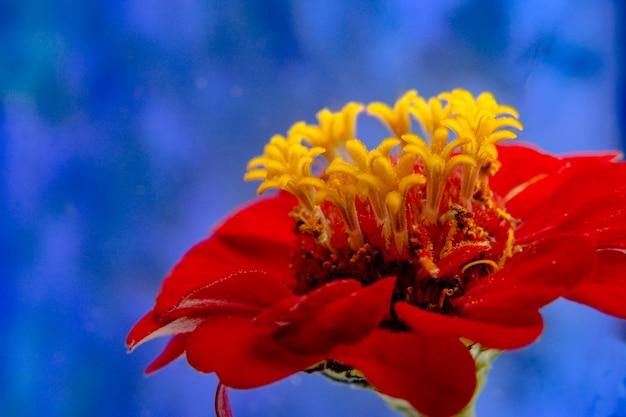 Sluit omhoog van rode bloem. op blauw.