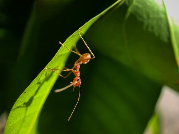 Sluit omhoog van rode mier lopend op de groene bladeren