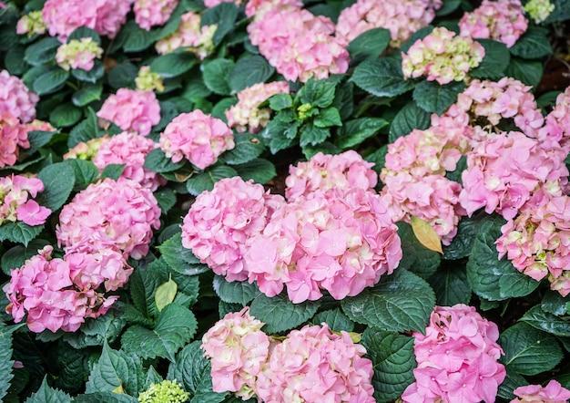 Sluit omhoog van roze hortensia'sbloemen