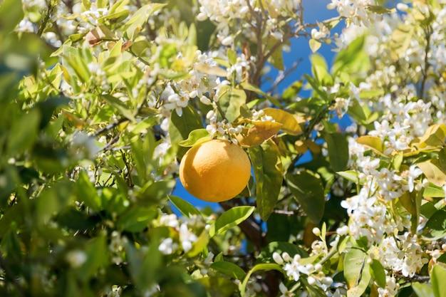 Sluit omhoog van sinaasappelbomen in de tuin, selectieve nadruk. rijpe sinaasappelen die op een tot bloei komende sinaasappelboom hangen