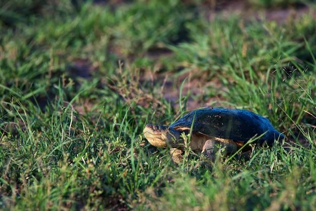 Sluit omhoog van sinuatus pelusios of oost-afrikaanse getande schildpad in gras