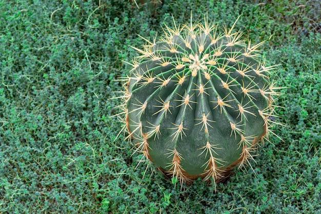 Sluit omhoog van stekelige groene cactus met lange doornen. op groene planten achtergrond.