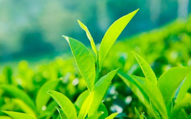 Sluit omhoog van theebladen in een landbouwbedrijf in sri lanka