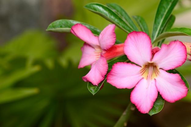Sluit omhoog van tropische bloem roze adenium. woestijnroos
