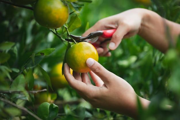 Sluit omhoog van tuinman die met de hand een sinaasappel met schaar in de tuin van het sinaasappelenveld in de ochtendtijd plukt.