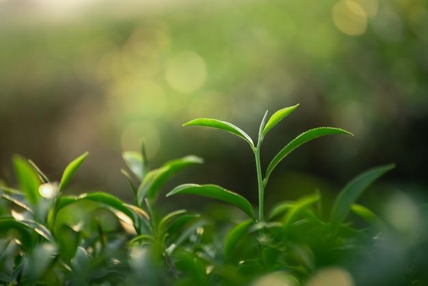 Sluit omhoog van verse groene theebladen op bokehachtergrond