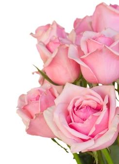 Sluit omhoog van verse roze die tuinrozen op witte achtergrond worden geïsoleerd