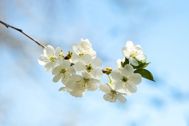 Sluit omhoog van verse witte bloeiende bloemen op een boomtakken met vage blauwe hemelachtergrond in de vroege lente.