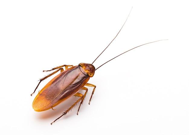 Sluit omhoog van walgelijke kakkerlak op witte achtergrond