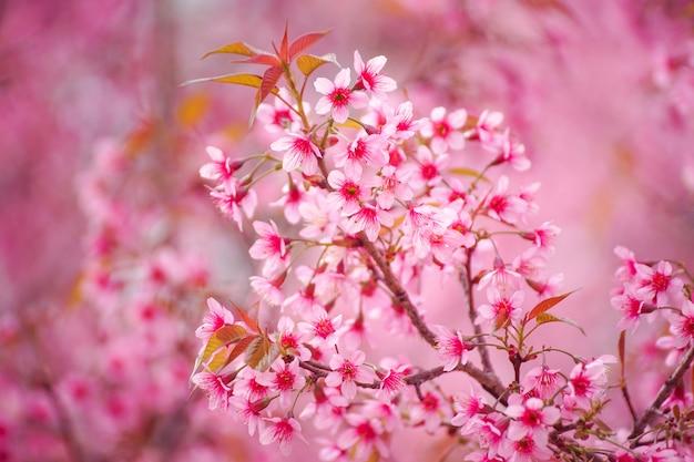 Sluit omhoog van wilde himalayan-kersenbloemen of sakura