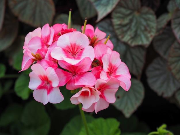 Sluit omhoog van witte en lichtblauwe hydrangea hortensiabloem.