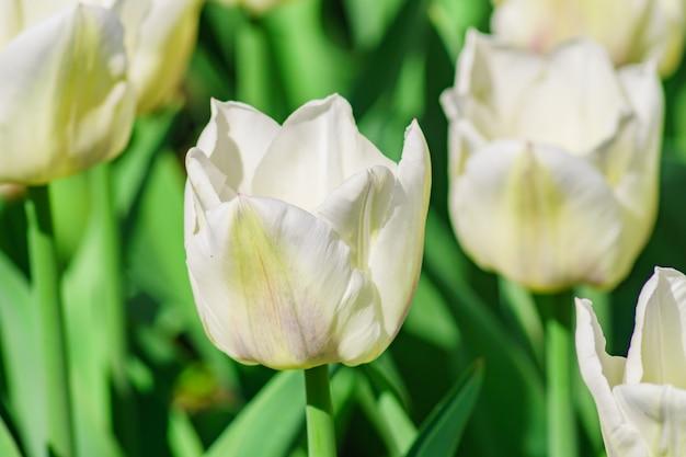 Sluit omhoog van witte tulp. bloem achtergrond. zomertuin landschap