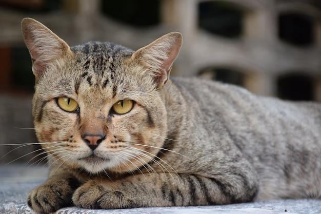 Sluit omhoog van zwart grijs bruin kattengezicht bepaalt en de achtergrond van de onduidelijk beeldkattenmuur Premium Foto