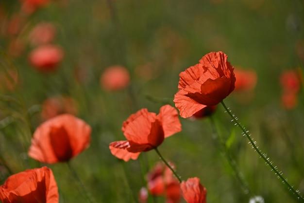 Sluit omhoog verlichte rode papaverbloemen in groen gebied, lsunset gouden uur, zijaanzicht van de lage hoek