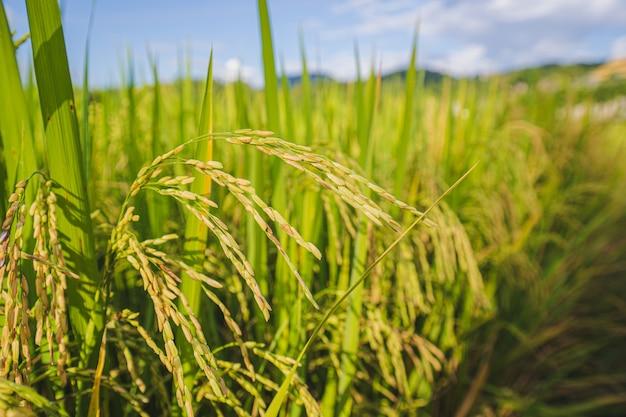 Sluit omhoog vers padiepadieveld, weelderige groene mooie achtergrond