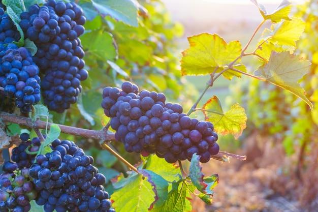 Sluit omhoog wijnstokdruiven in champagnegebied in de herfstoogst, reims, frankrijk