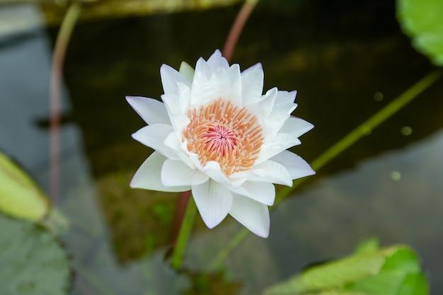 Sluit omhoog witte lotusbloem, kleurrijke lotusbloem