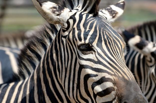 Sluit omhoog zebra