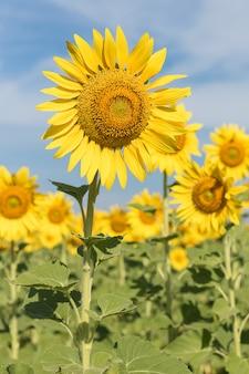 Sluit omhoog zonbloemen op gebied
