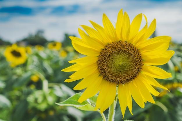 Sluit omhoog zonnebloem met de achtergrond van het gebiedslandschap