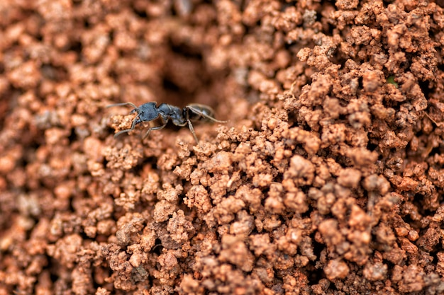 Sluit omhoog zwart mierennest in rode grond