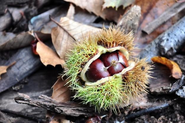 Sluit op kastanje in schil gevallen op de grond van bos in bladeren