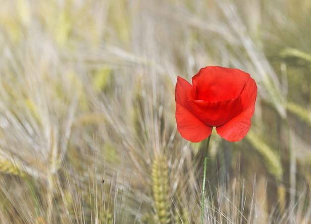 Sluit op mooie rode papaver die in een graangewassengebied bloeit