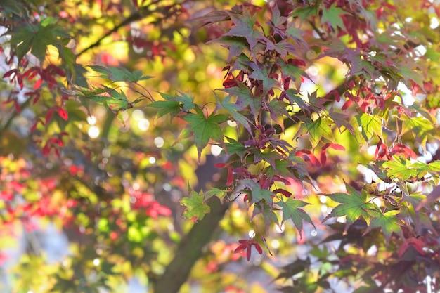Sluit op rode bladeren van japanse esdoorn in de herfst