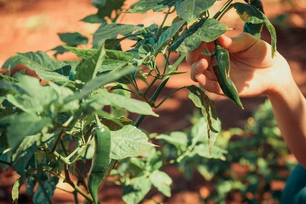 Sluit peperfruit en installatie omhoog