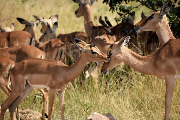 Sluit schot van een babyhert dichtbij zijn moeder in een droog grasrijk gebied met vaag