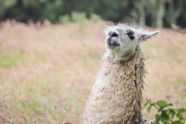 Sluit schot van een lama in een droog grasveld