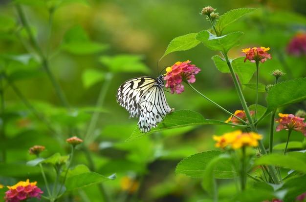 Sluit schot van een witte vlinder zittend op een paarse bloem met een wazig