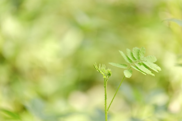 Sluit shameplant-bladeren omhoog groene kleur en vage groenachtergrond in aard. groene mimosapudica met exemplaarruimte