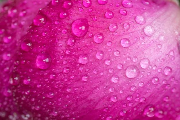 Sluit tot aan de pioenknop met dauwdruppels. roze bloem met waterdruppels.