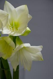 Sluit witte hippeastrumbloemen in vaas isoleren omhoog op een lichtgrijze achtergrond, een groetkaart of een concept