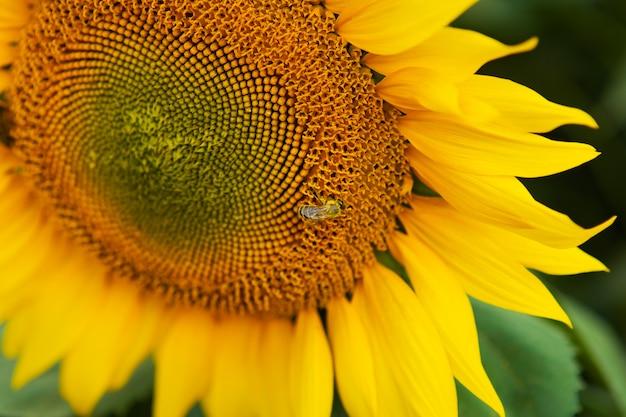 Sluit zonnebloem en de werkende achtergrond van de bijenaard