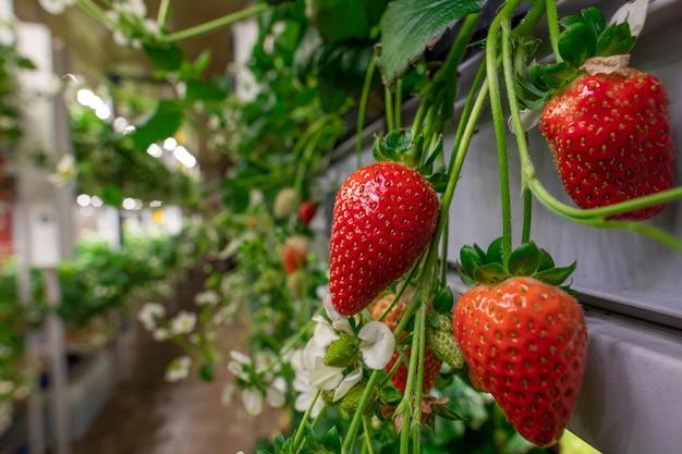Smakelijke aardbeien groeien in een tuin of moderne verticale boerderij