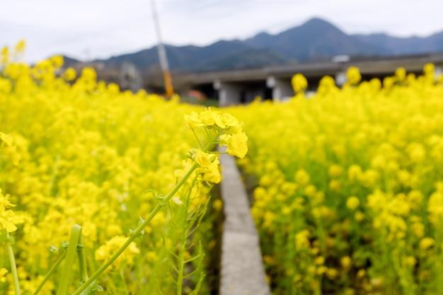 Smalle loopbrug die door een veld met gele bloemen gaat