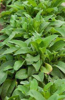 Smeerwortel medicinale plant met helende eigenschappen groene bladeren van de plant