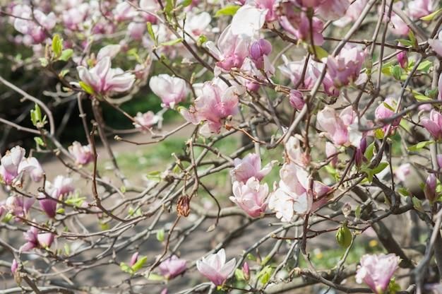 Smerige magnolia, verweerde bloem