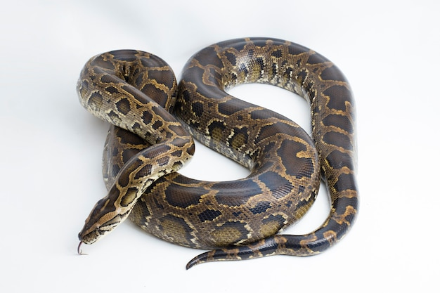Snake birmese python python molurus bivittatus geïsoleerd op witte achtergrond