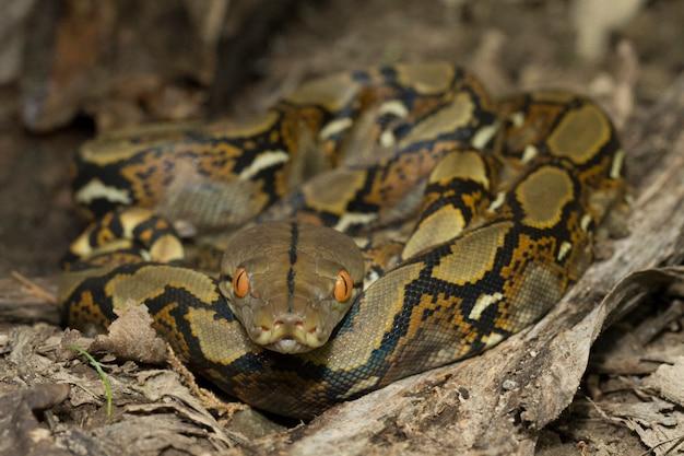 Snake netvormige python (python reticulatus)