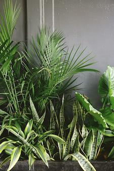Snake plant naast taro en palm plant near grey wall