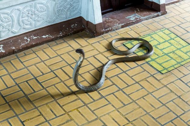 Snake show en getoond aan toeristen in serpentarium