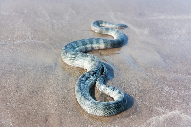 Snavelvormige zeeslang (enhydrina schistosa) op het zand.