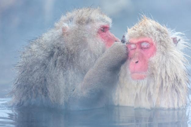 Sneeuw aap macaque onsen