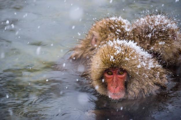 Sneeuw apen (japanse makaken) baden in onsen warmwaterbronnen terwijl de sneeuw valt