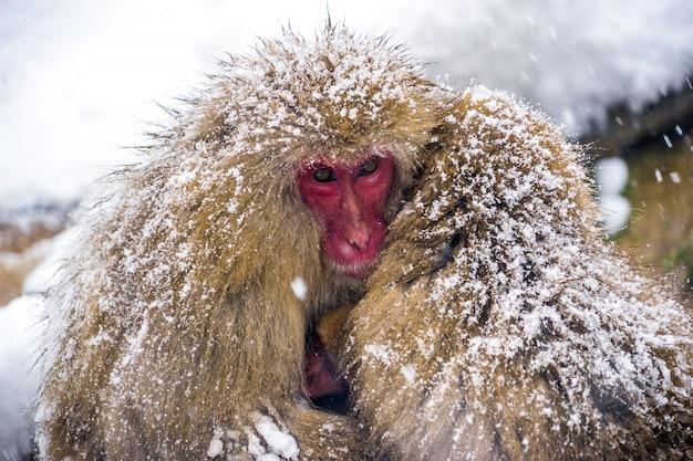 Sneeuw apen (japanse makaken) rillingen en knuffel met baby aap en familie