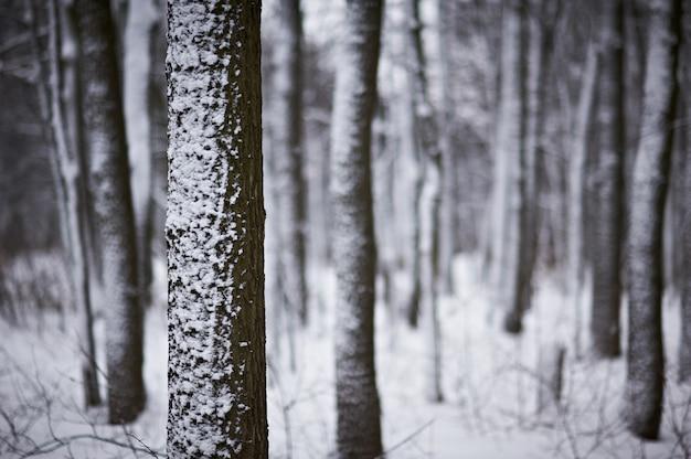 Sneeuw bedekt bomen in het winter forest